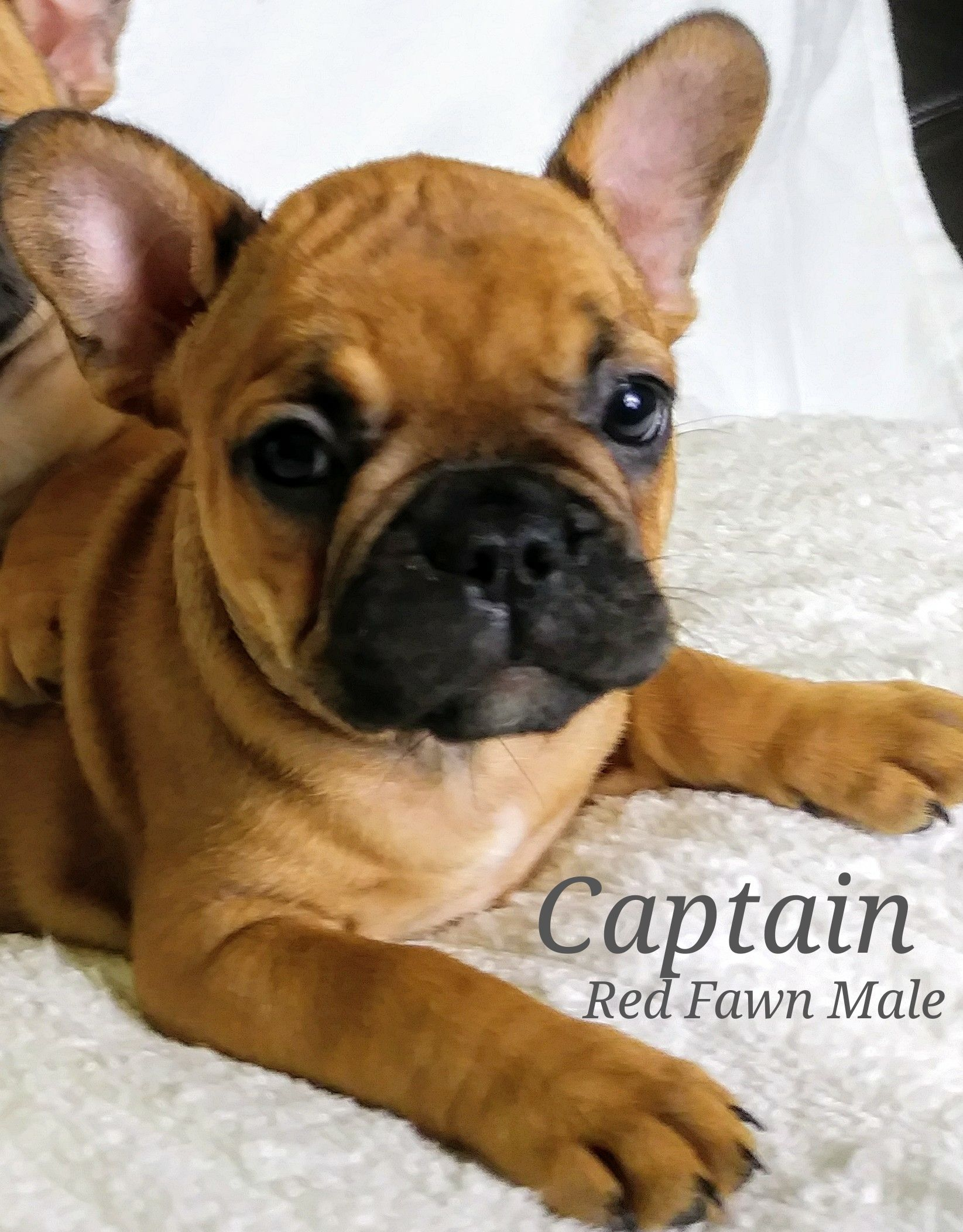 Captain a male AKC French Bulldog puppy for sale in Lone
