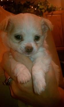 Rare Long Haired Tea Cup White Chihuahua Female Puppy 5 Weeks Old