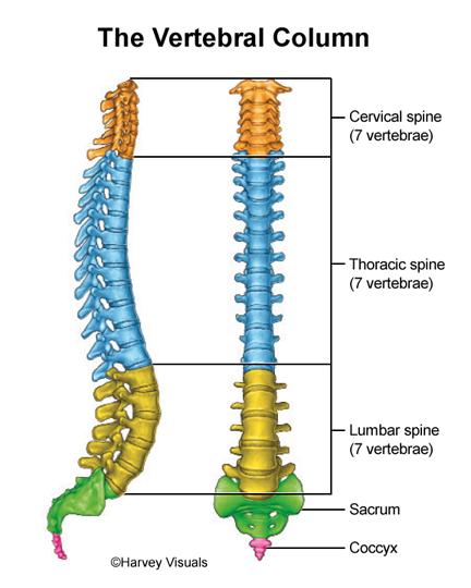 The Vertebral Column Hv Png 432 540 Spinal Cord Injury Cervical Thoracic
