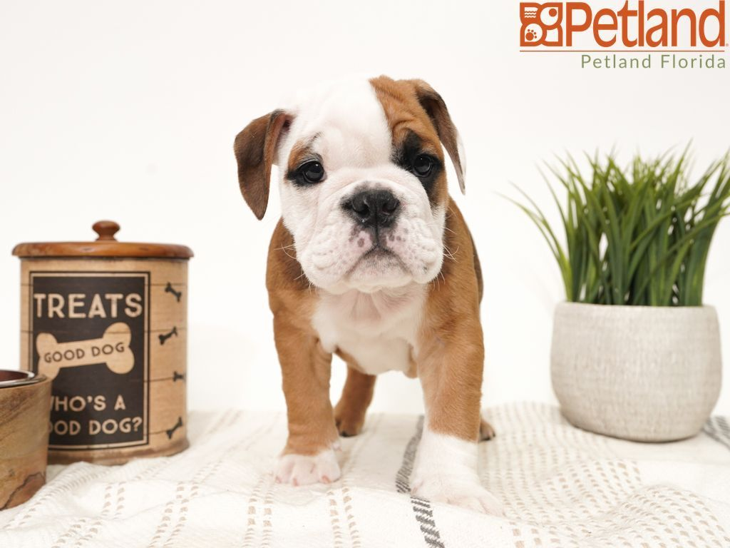 Petland Florida Has English Bulldog Puppies For Sale Check Out All Our Available Puppies En Bulldog Puppies For Sale Puppy Friends English Bulldog Puppies