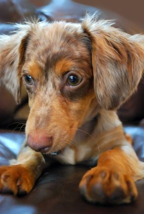 Chiweenie A Cross Between A Chihuahua And A Dachshund Adorable