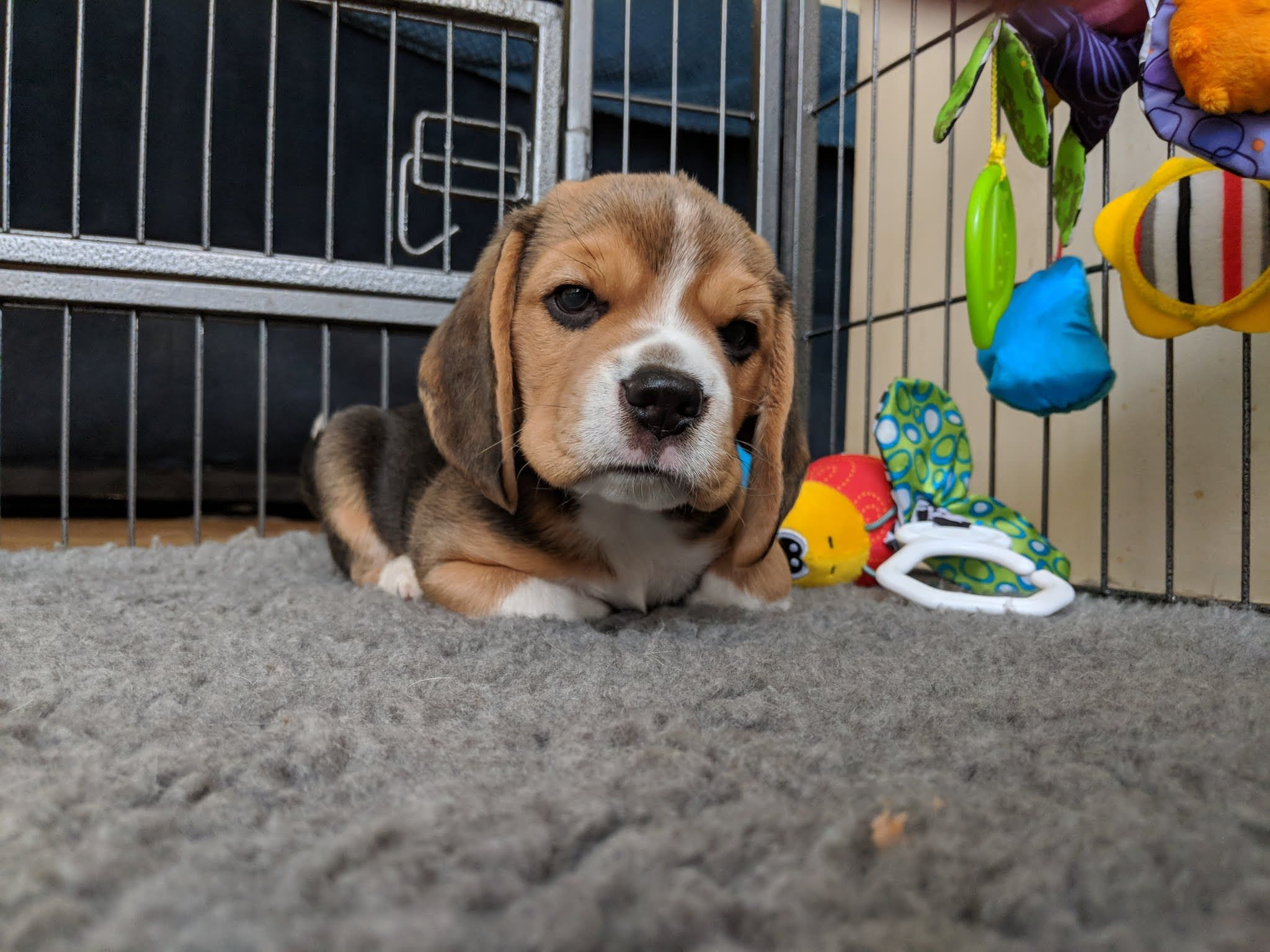 This Is Hercules Beagle Puppy Cute Animals Cute Dogs