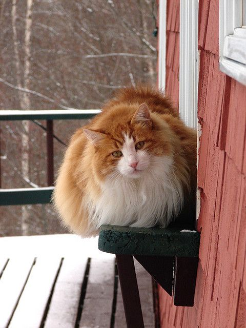 cybergata:Winter cat by Hodgey on Flickr.