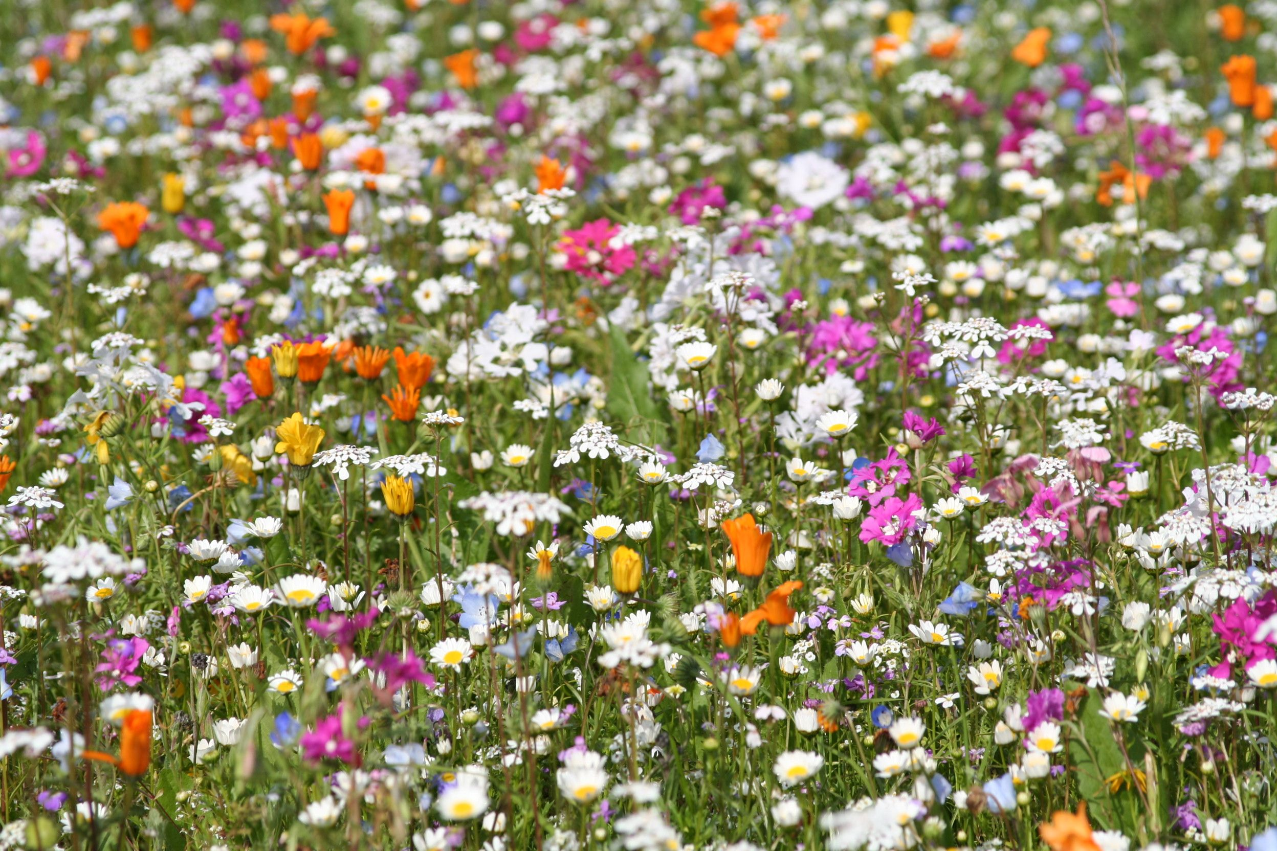 Sow this: if you're already longing for the freshness of the spring garden, now is the time to invest in a hardy annual/perennial seed mix for sowing next month