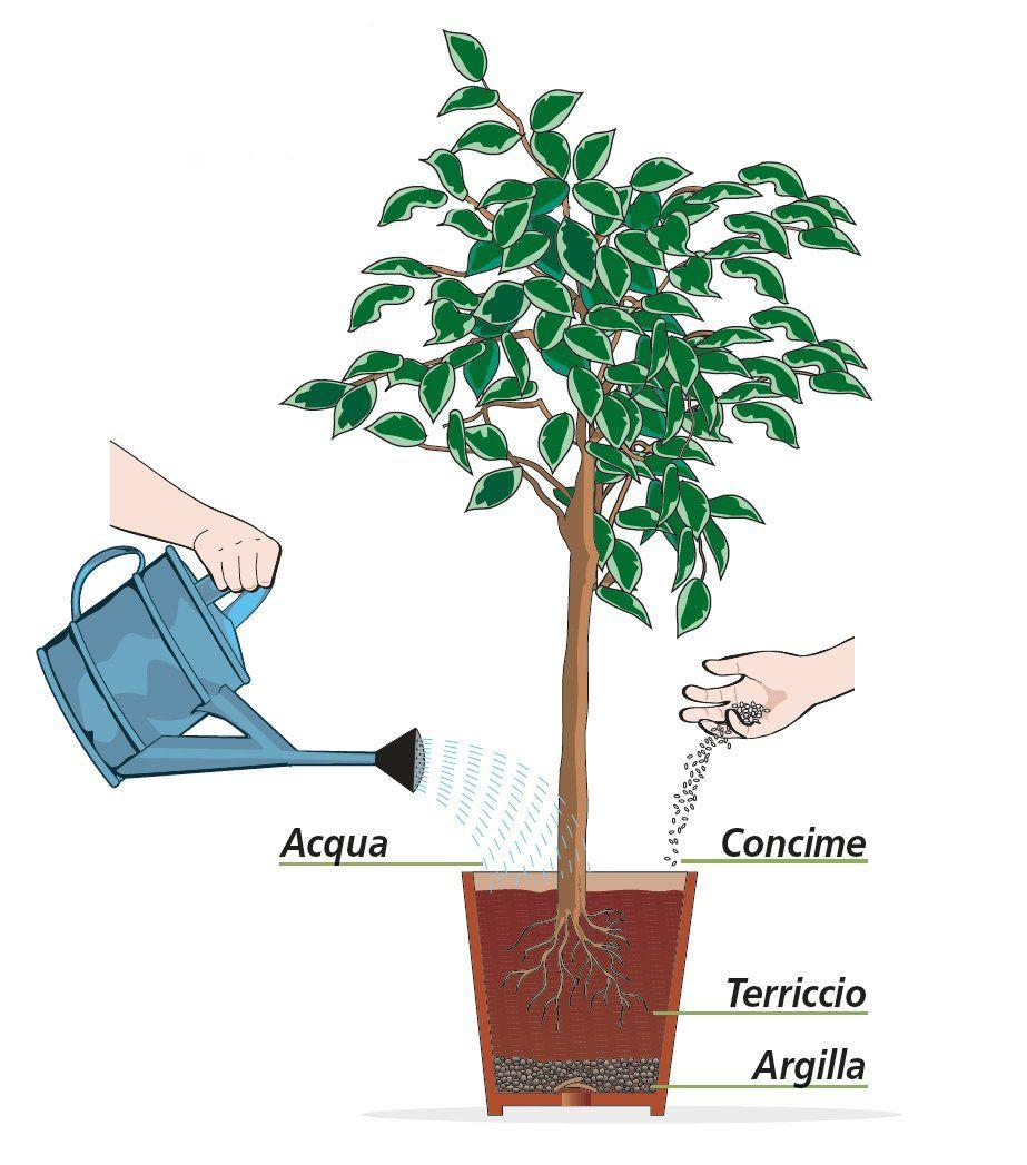 Ficus Benjamin Perde Foglie curare il ficus benjamin durante tutto l'anno | ficus