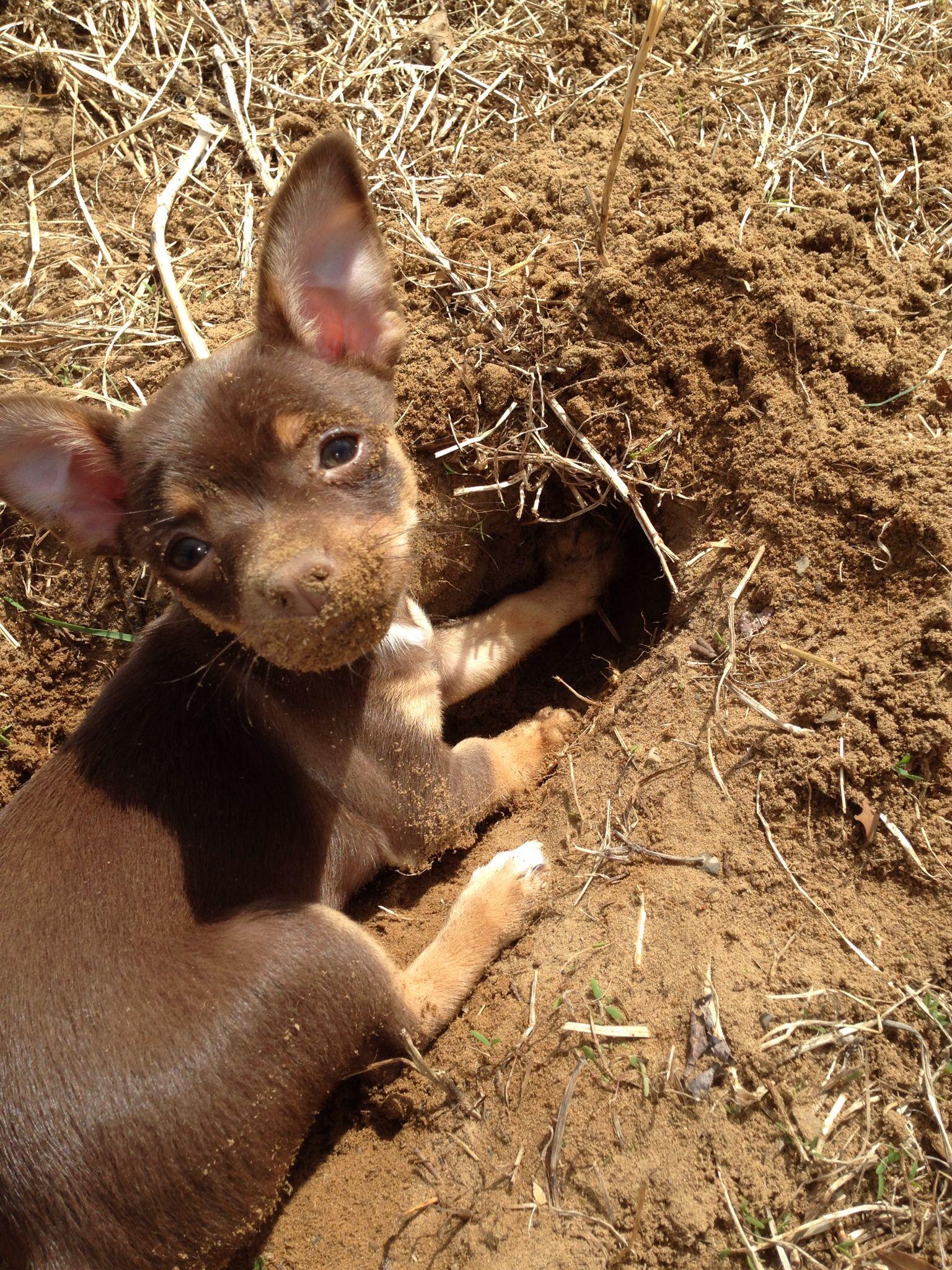 Resultado de imagen para chihuahua digging