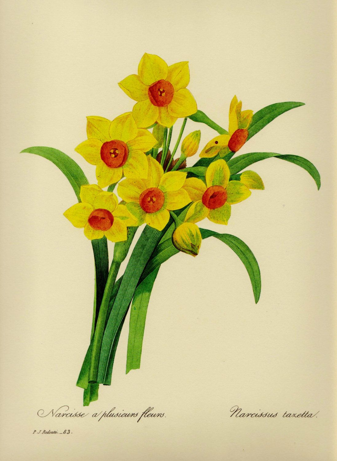 Lovely VintageYellow Narcissus Botanical Flower Print Redoute ...