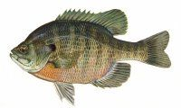 Recipes for Bluegill, Crappie, Lake Perch, Whitefish, Northern Pike, Walleye and other freshwater fish.