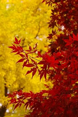 Red and yellow leaves.. Autumn I love it...