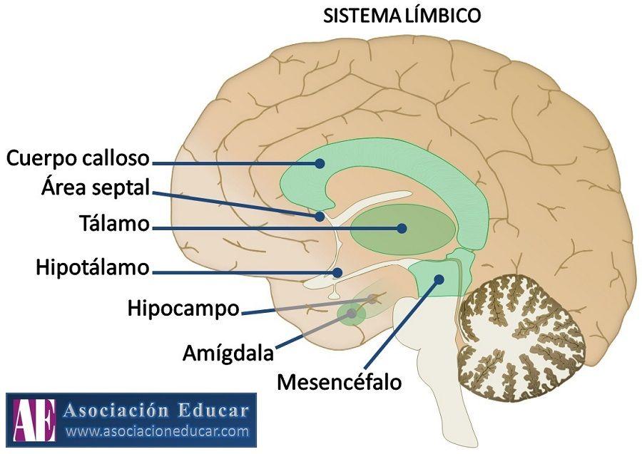 Perfecto Anatomía Y La Función Del Hipocampo Colección de Imágenes ...