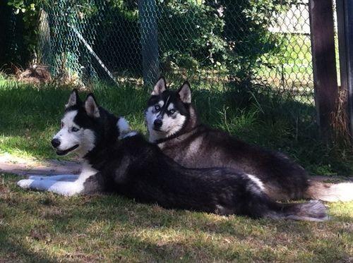 16 Feet Pretty Boys Huskies Husky Dogs Pets