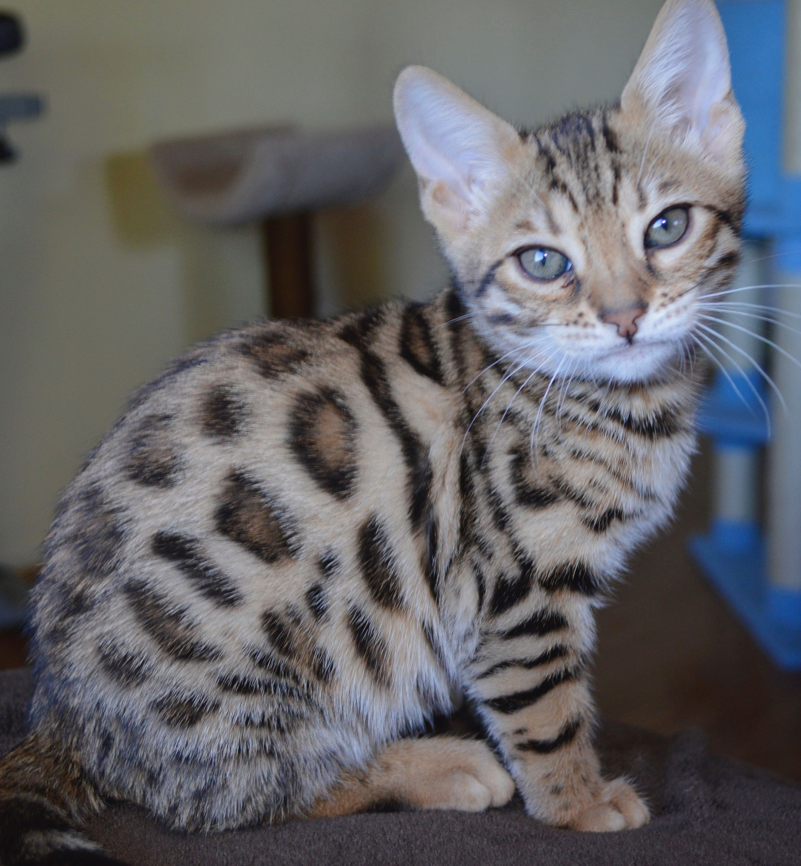 Pin By Jessica Wolford On Paws Itively Awe Dorable Kitties In 2020 Bengal Kitten Bengal Cat Bengal Cat Breeders