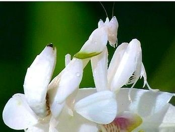 White Orchid Mantis Orchid Mantis Praying Mantis Orchids