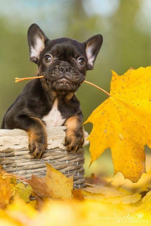 Kleiner Herbstbote Franzosische Bulldogge In Schwarz Susse Tiere Tierbilder Tierbabys