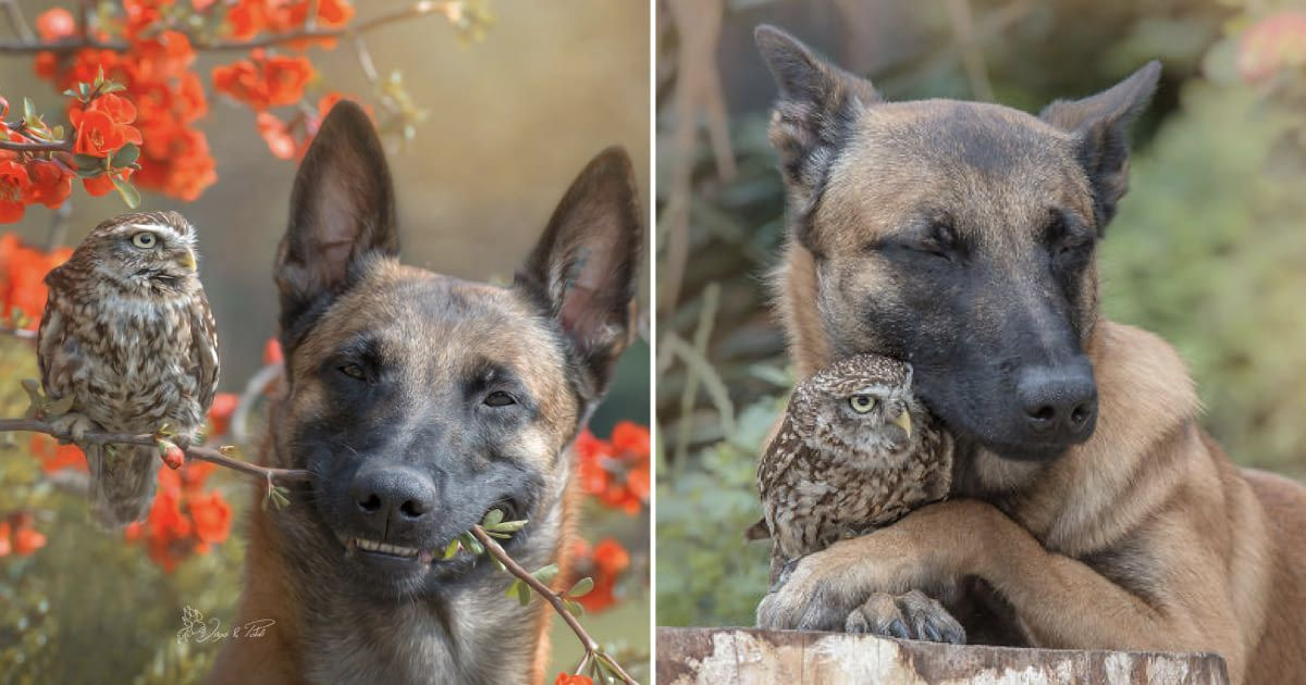 This Shepherd Dog And His Owl Friends Are Probably The