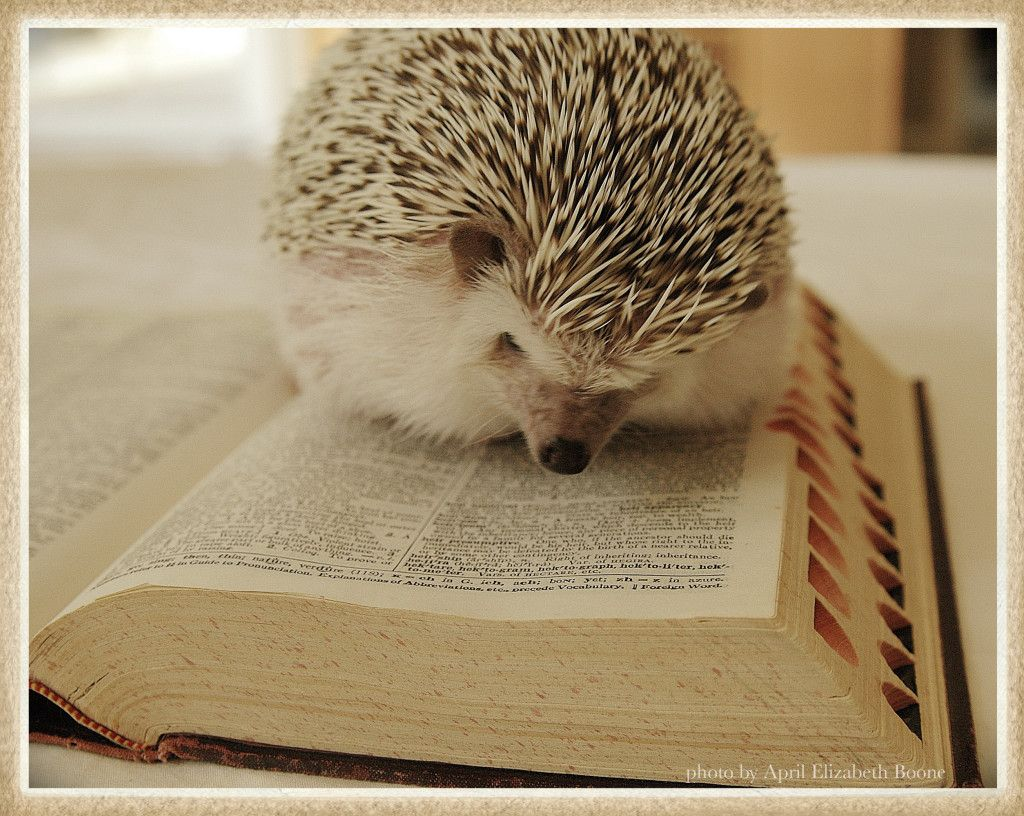 Adorable Animals Reading Books Hedgehogs Books And Animal - This instagram account will satisfy your addiction for adorable hedgehogs