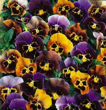 Whosyergurl Mutterings From A Midwest Gal Natalie S Garden Beautiful Flowers Garden Pansies Flowers That Attract Hummingbirds