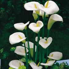 Calla Lily Zantedeschia Aethiopica Flower May Be White Or Green The Leaves Are Toxic When Ingested Zantedeschia Aethiopica Zantedeschia Lily Plants