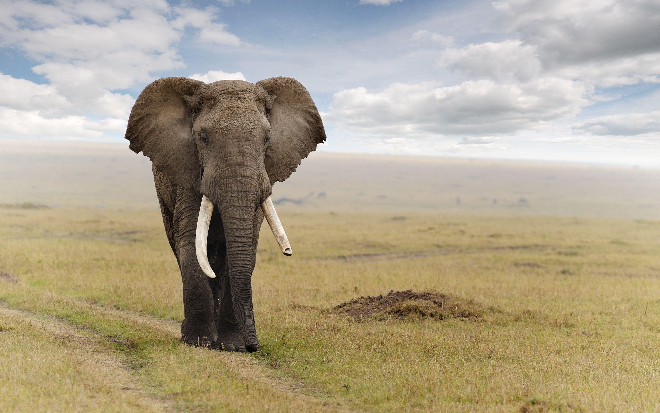 Elephant Computer Wallpapers Desktop Backgrounds 2560x1600 Id 344812 Elephant Wallpaper Elephant Pictures African Elephant