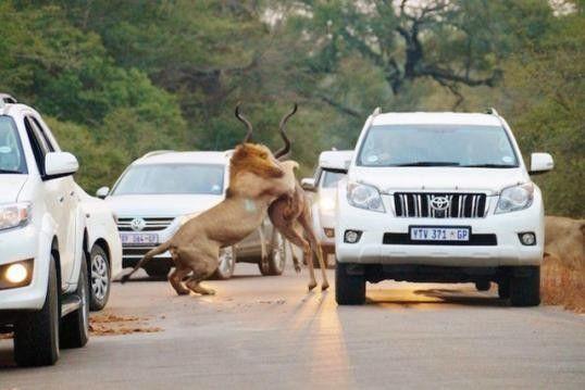 Aslanlar avını trafikte yakaladı! Sözcü Gazetesi - Sözcü Gazetesi