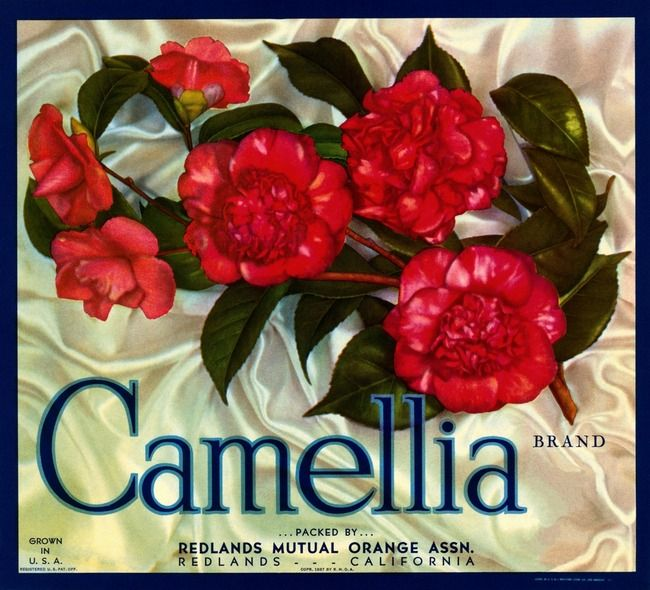 Like this as a tribute to my mom who had the most awesome camallia plant outside her front door