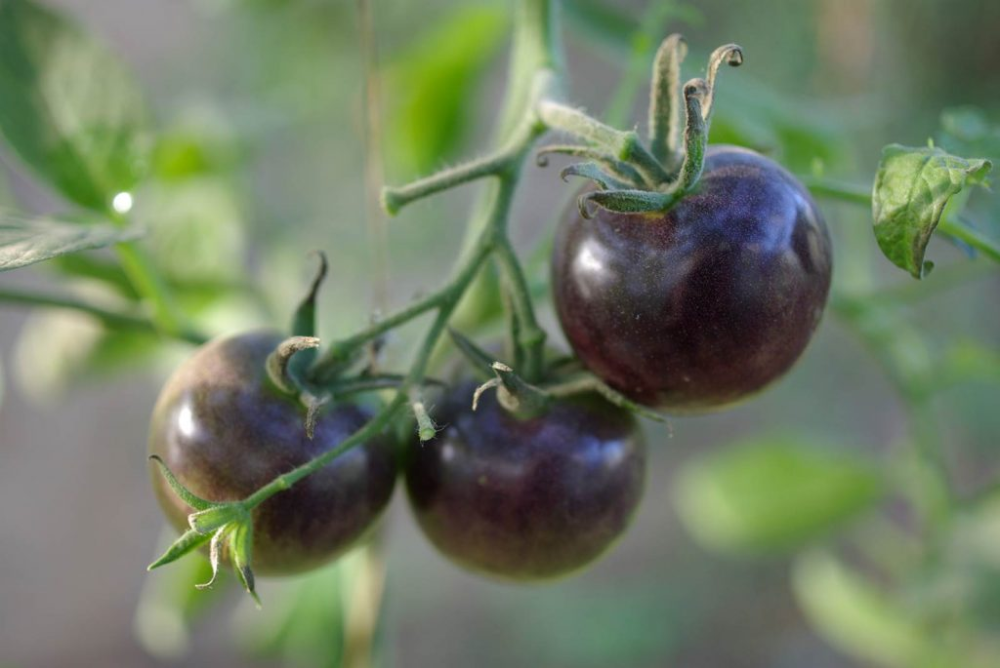 Des tomates, des goûts et des couleurs La terre est un