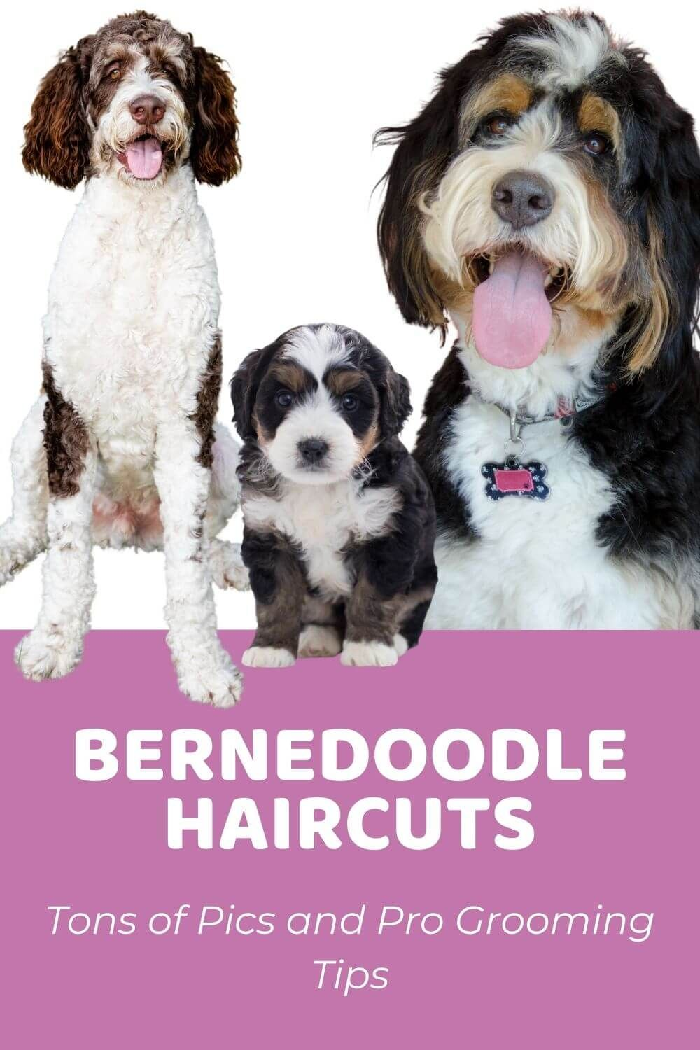 Bernedoodle Haircuts Tons Of Pics And Pro Grooming Tips In 2021 Bernedoodle Puppy Bernedoodle Girl And Dog
