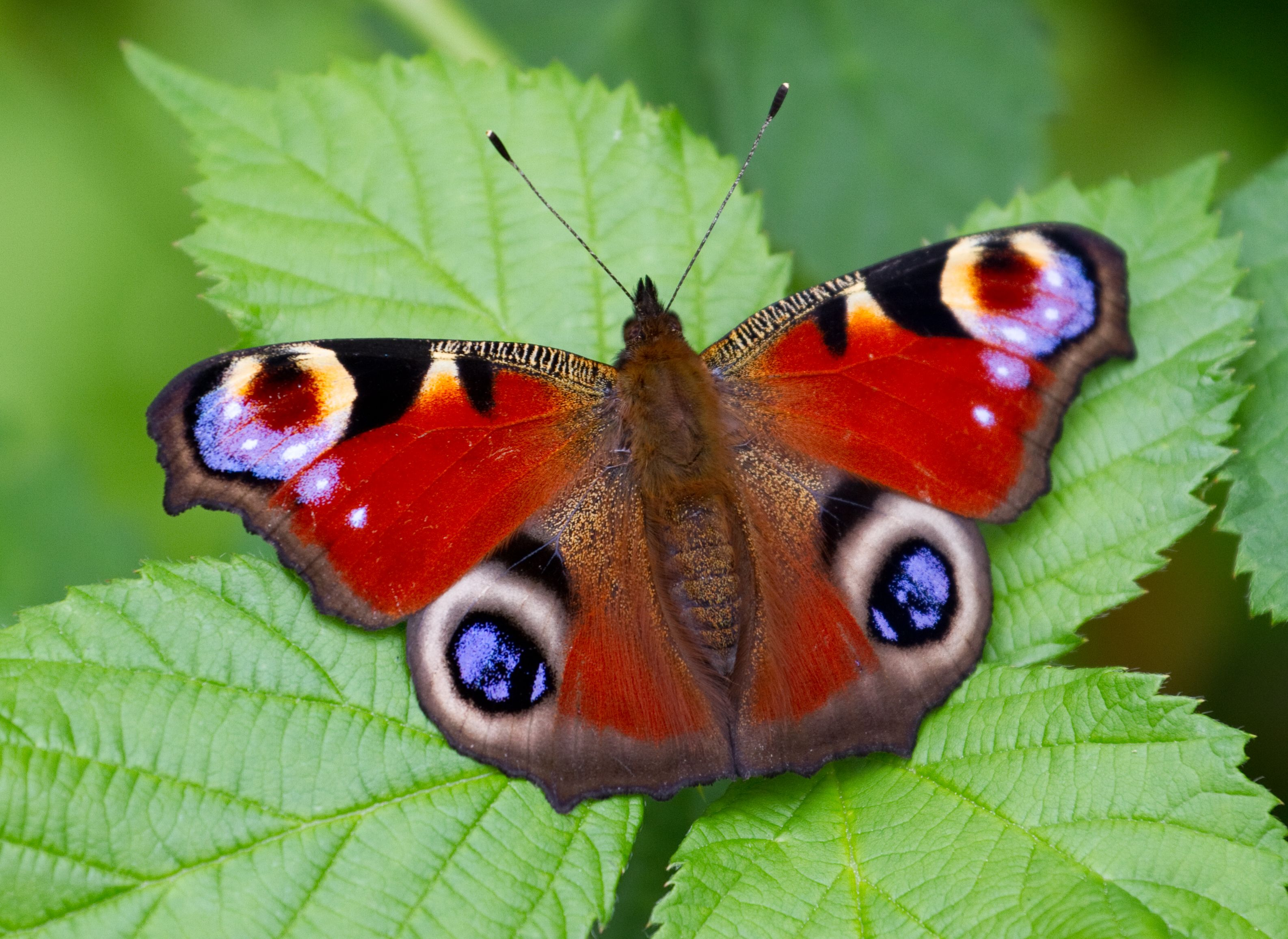 hd wallpaper of peacock pansy butterfly