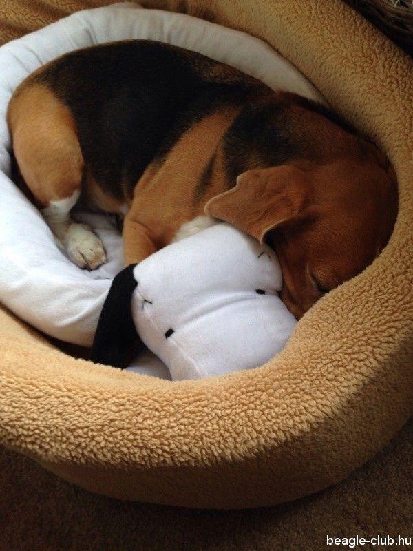 Omg Soooo Cute Beagle In A Beagle Bed D Adoptable Beagle