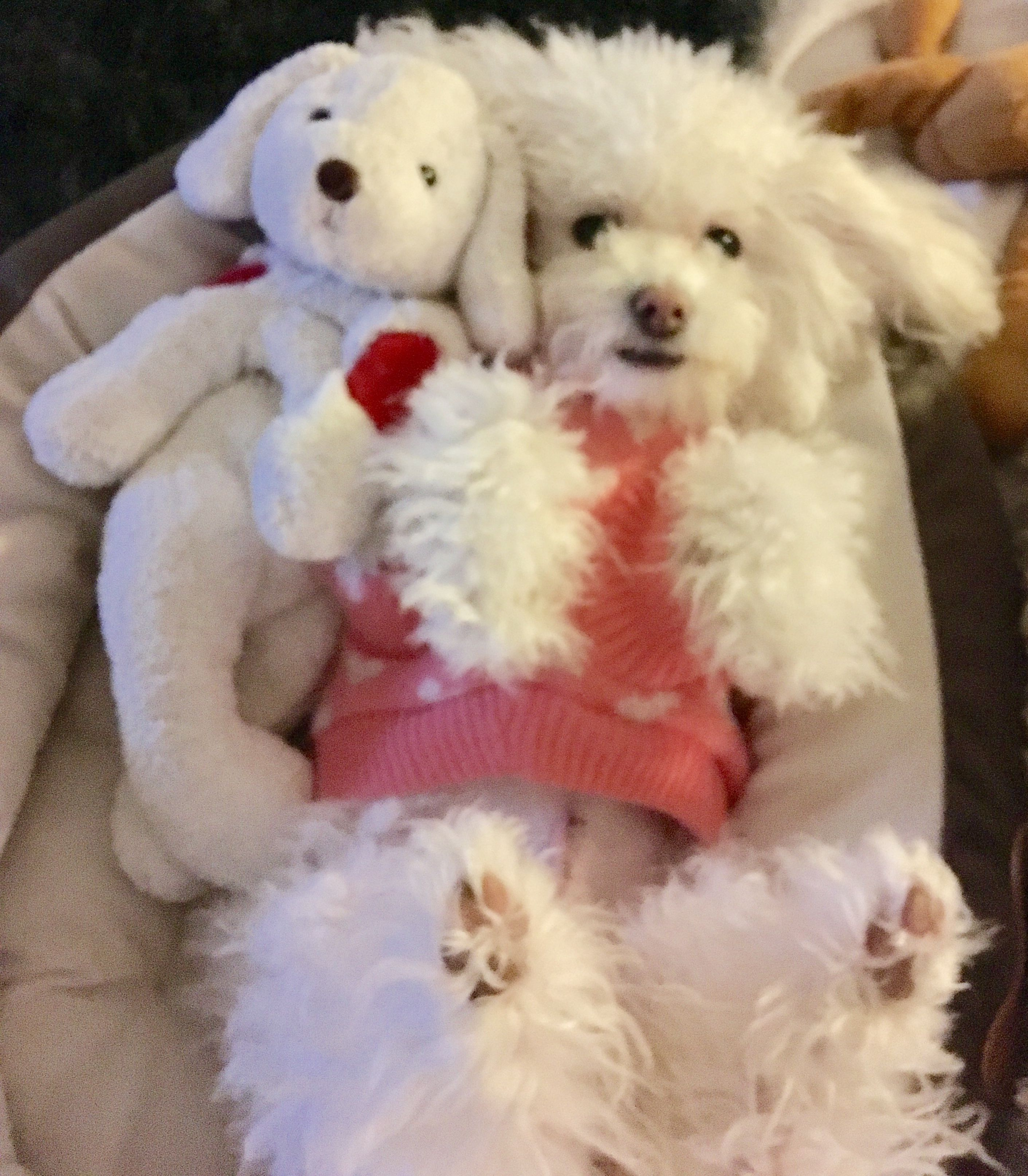 how much are maltipoo puppies for sale