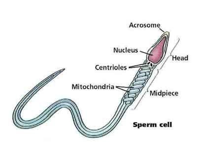Sperm Anatomy Diagram Preconceptionconception Pinterest