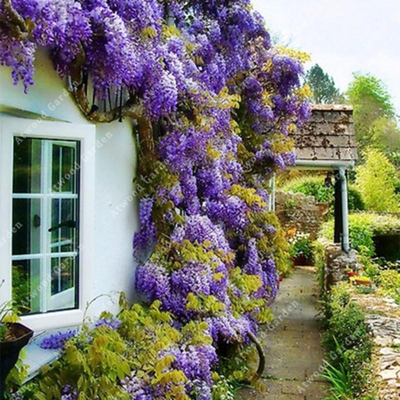 10PCS Wisteria Seeds Flower Rare Purple Tree Decor Plant Bonsai House Garden
