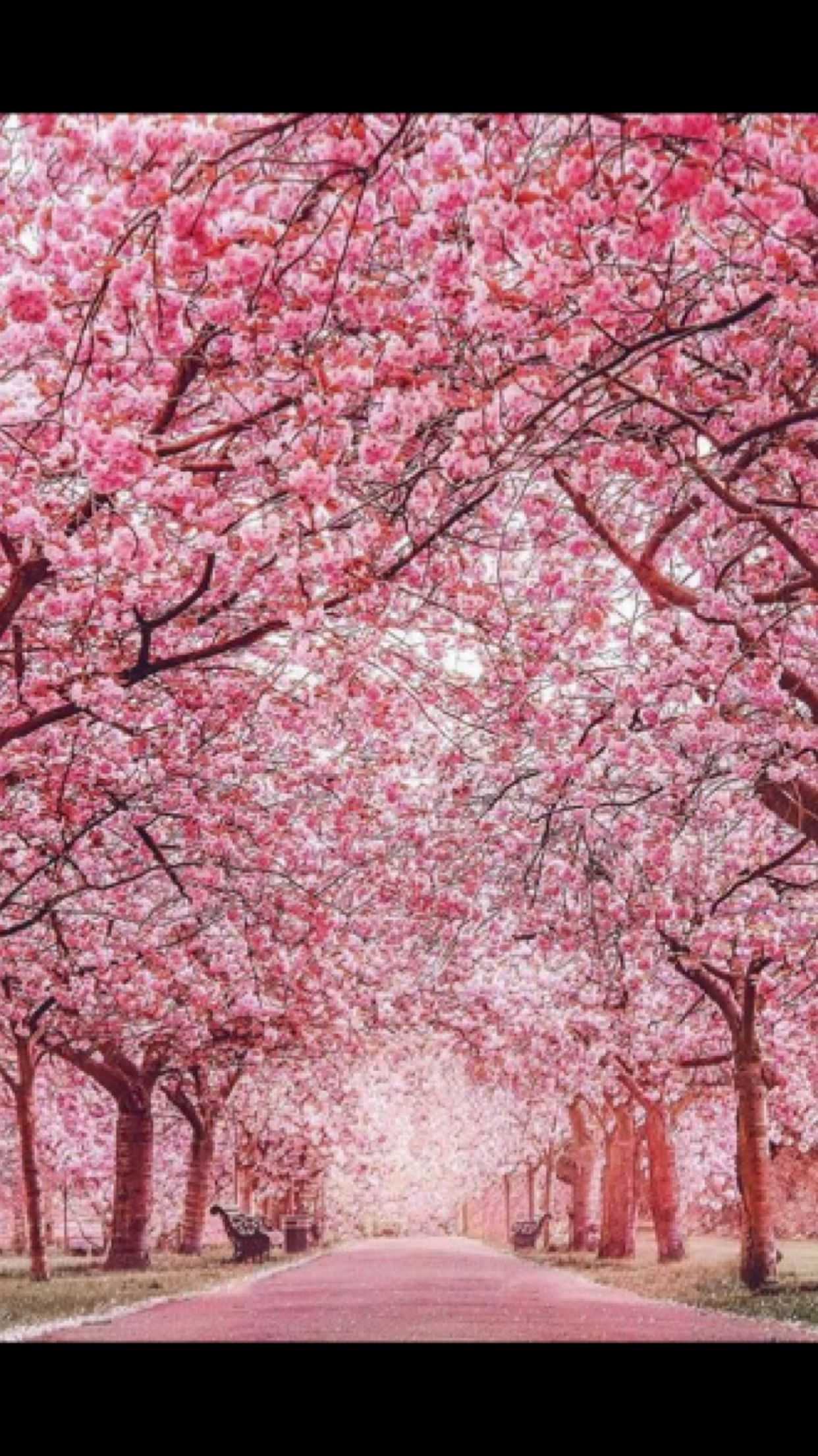 Such A Gorgeous Surrounding Pink Blossom Tree Nature Landscape