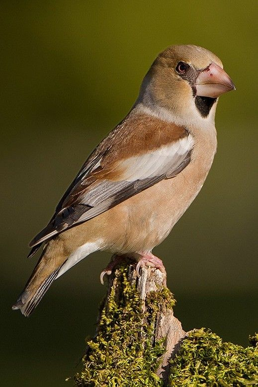 Hawfinch Coccothraustes Cocco Thraustes Breeds Across Europe
