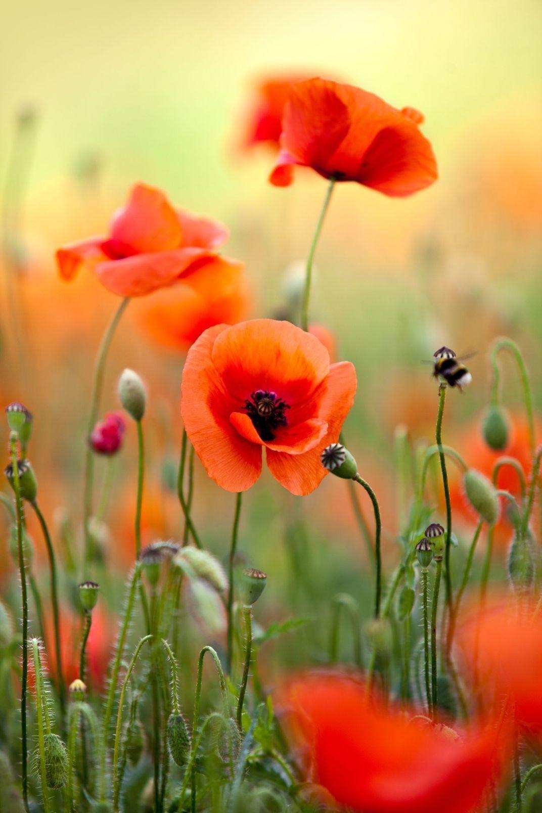 Poppy Flower 26 Mohnblume Blumenzeichnung Blumen Leinwandbilder