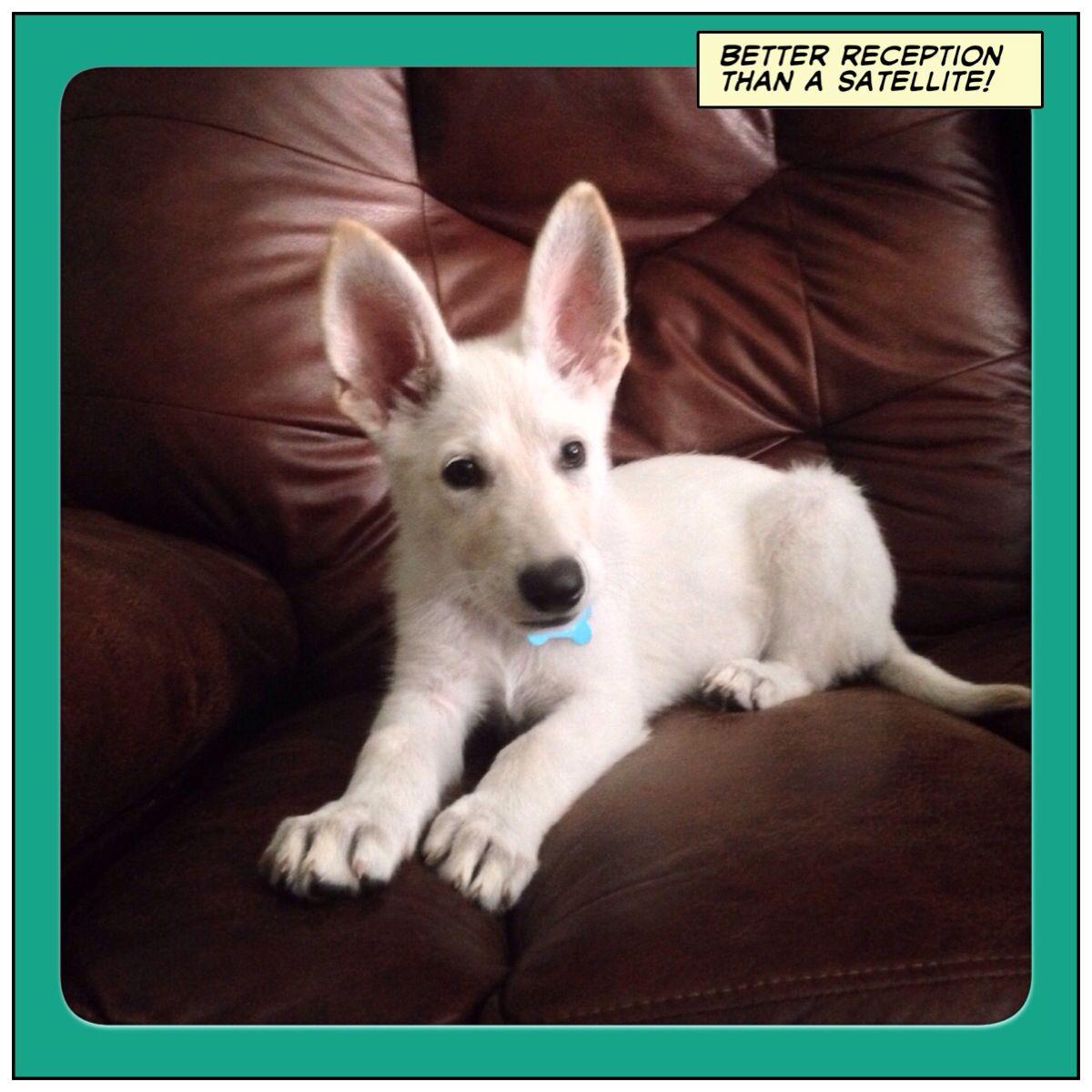 12 Week Old Arabella White German Shepherd Puppy Shepherd