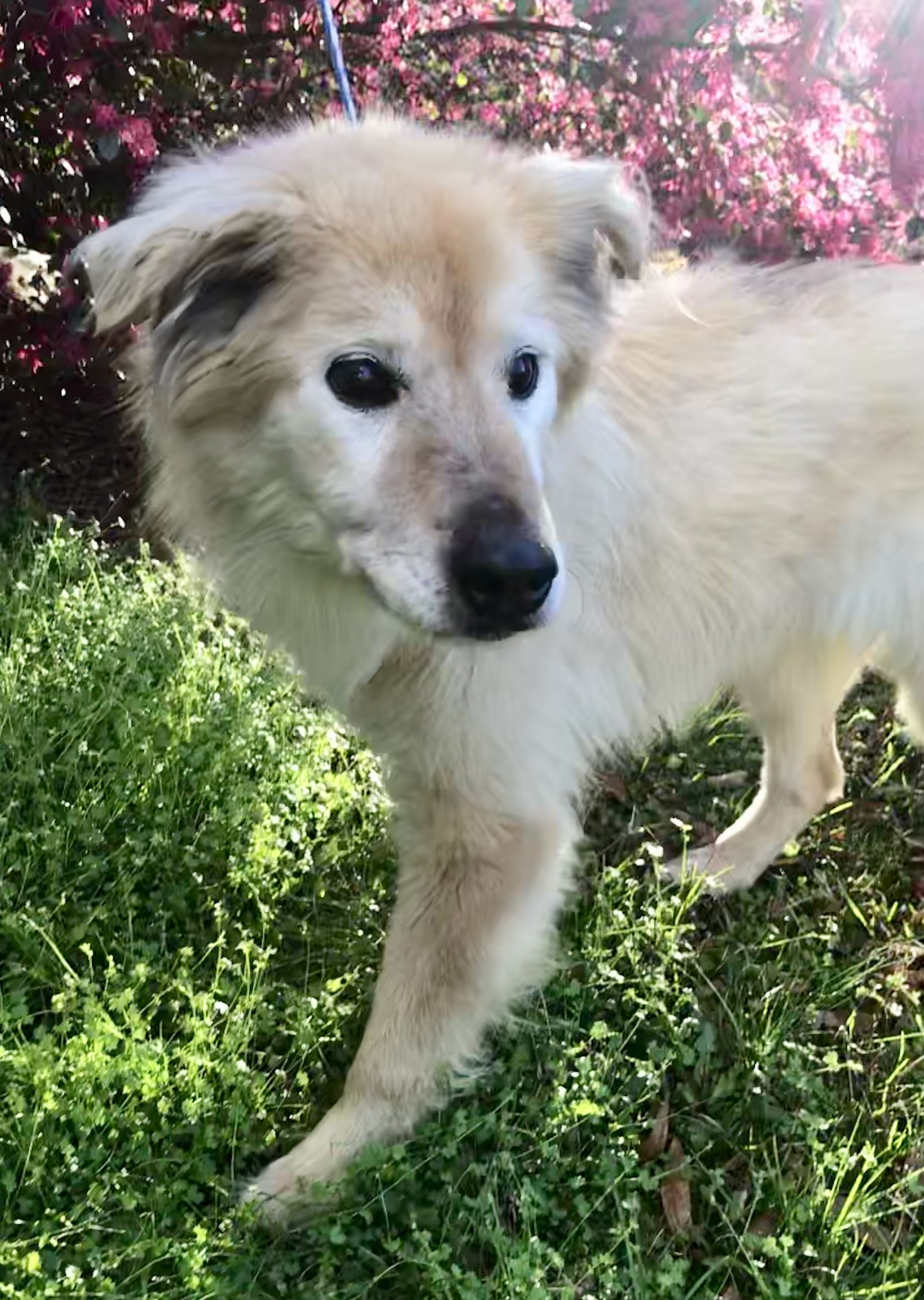 Adopt Agatha on Dogs, Golden retriever mix, Animal rescue