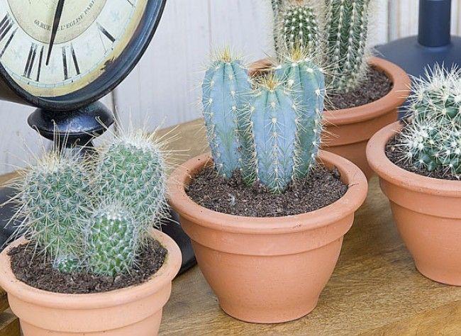 le rempotage des plantes grasses plantes d 39 int rieur pinterest. Black Bedroom Furniture Sets. Home Design Ideas