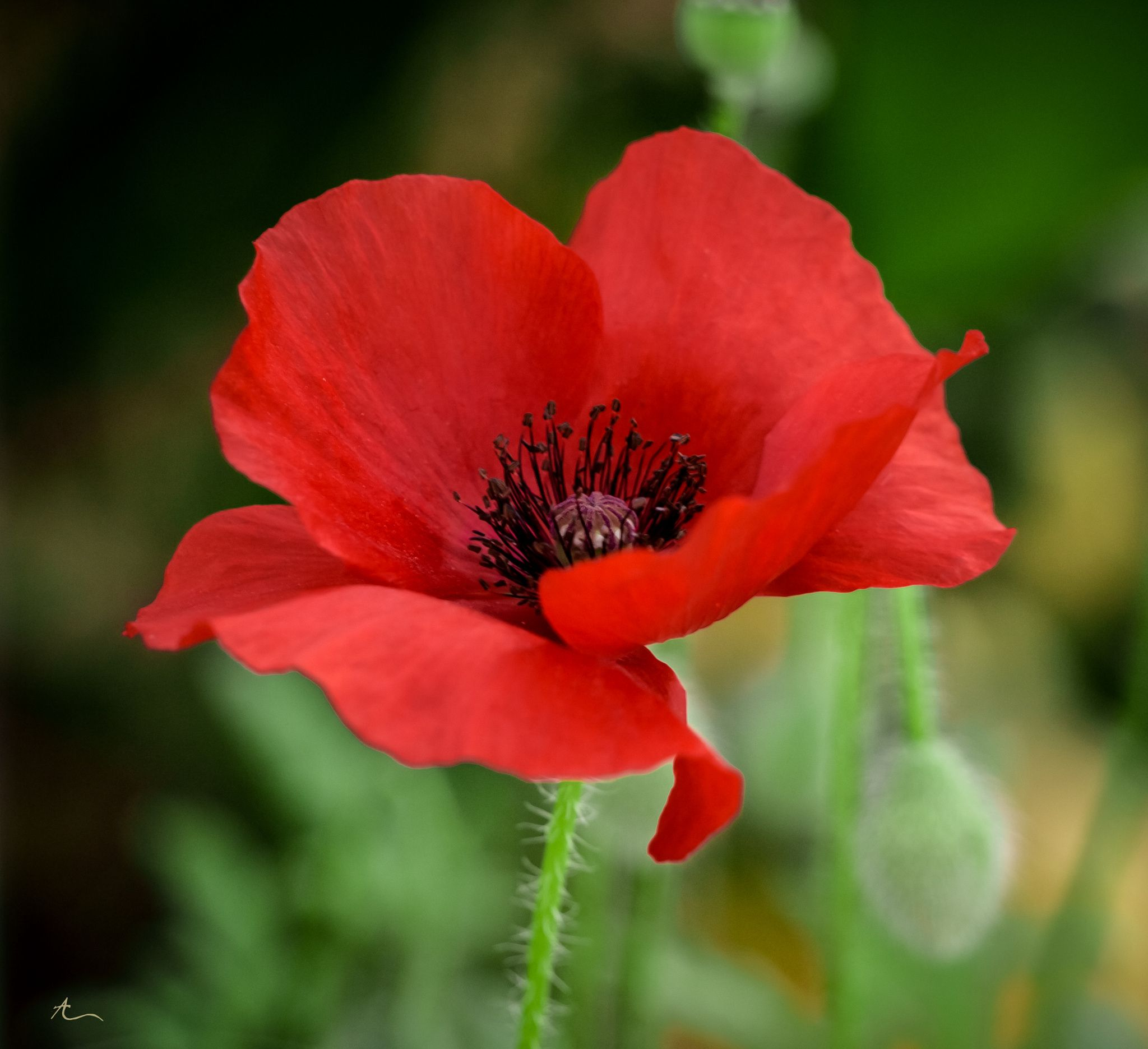 Фотография Poppy Red автор AF Designs на 500px Цветы Pinterest