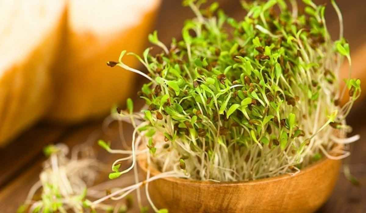 فوائد حب الرشاد للحمل بين التجارب والأبحاث Alfalfa Sprouts Alfalfa Sprouts Benefits Sprouting Seeds