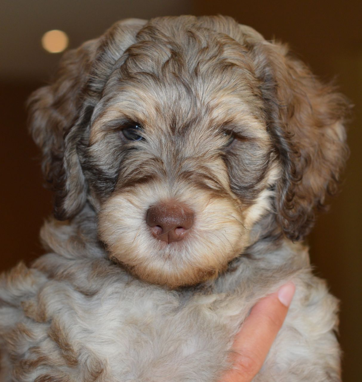 Labradoodle Puppy For Sale In Spain
