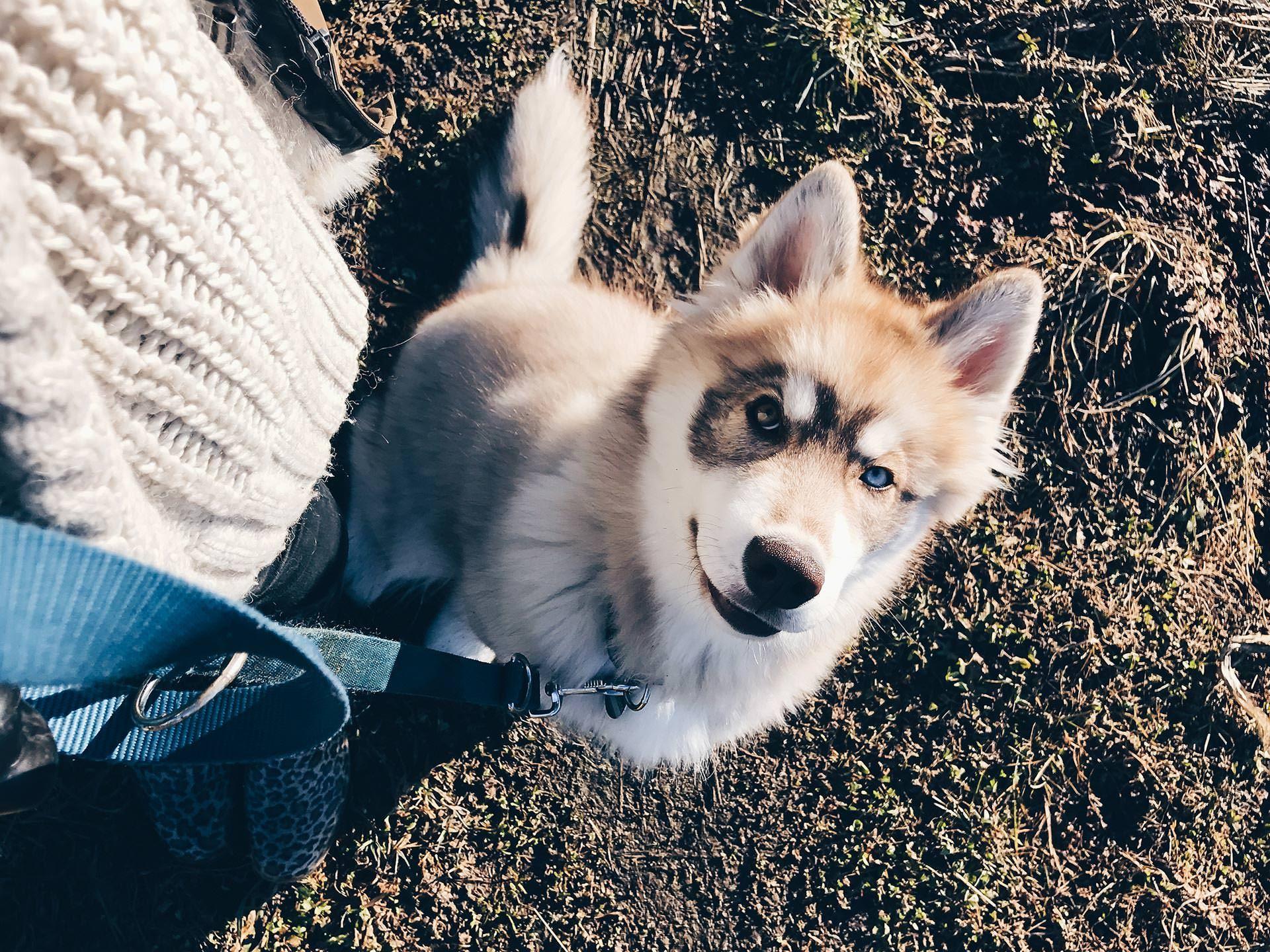 Hunde Facts Zum Sibirischen Husky Teddy Alltag Mit Hund Leben Mit Hund Hundeblog Hundeblogger Osterreich Hunde Tipps Und Tr Mit Bildern Sibirischer Husky Heiser Husky