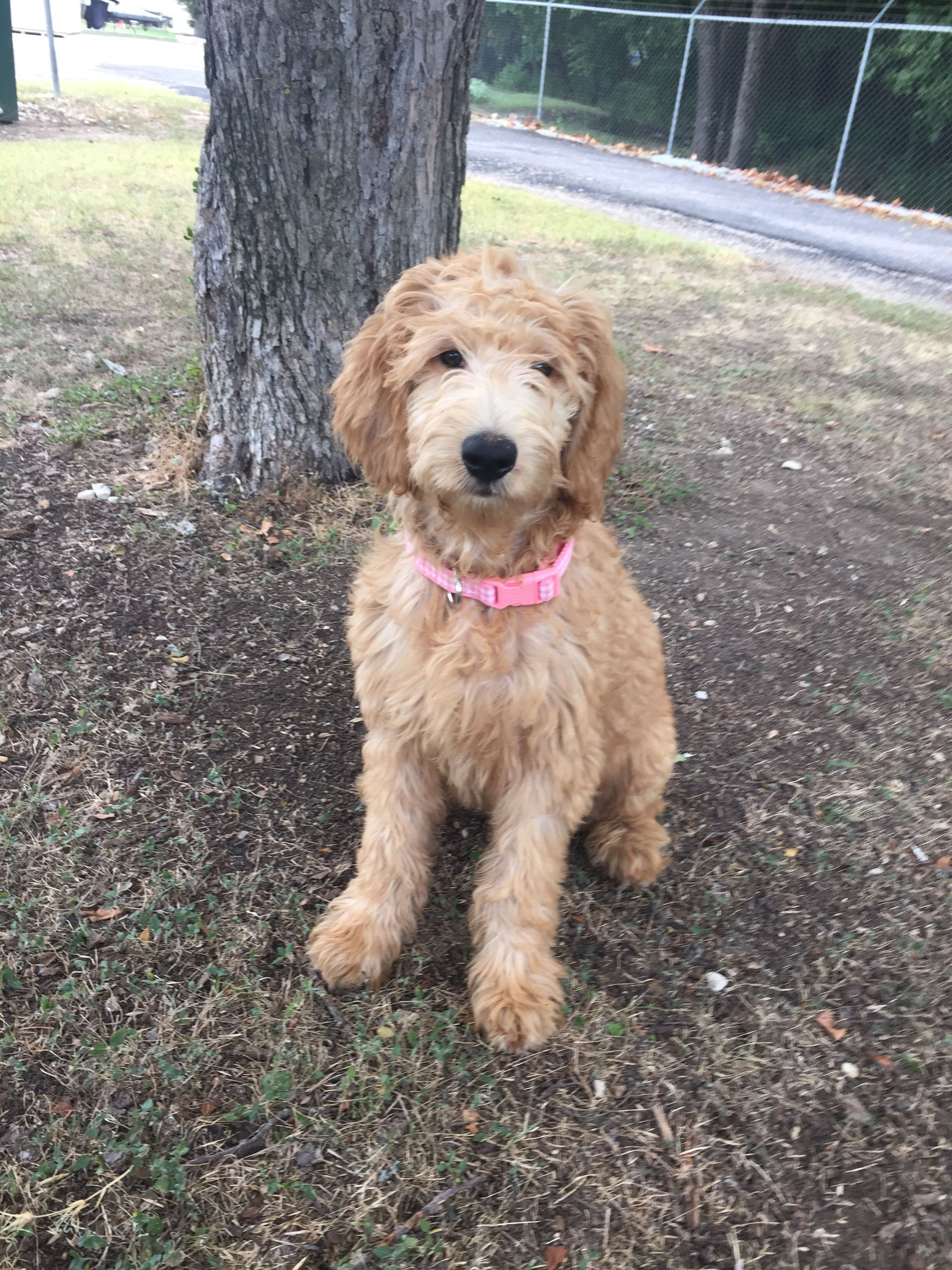 She Is Sooooo Sweat Apricot Goldendoodle About 6 Months Old Apricot Goldendoodle Golden Retriever Photography Golden Retriever