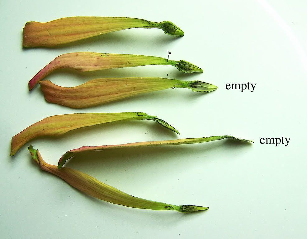 Need Help With Zinnia Seeds Seed Saving Forum Gardenweb Zinnias Seed Saving Seeds