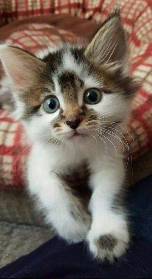 Cutie pie! Love the interesting markings / coat pattern on this kitty cat kitten #kittycats