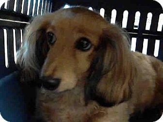 Tacoma Wa Dachshund Meet Shasta A Dog For Adoption Click
