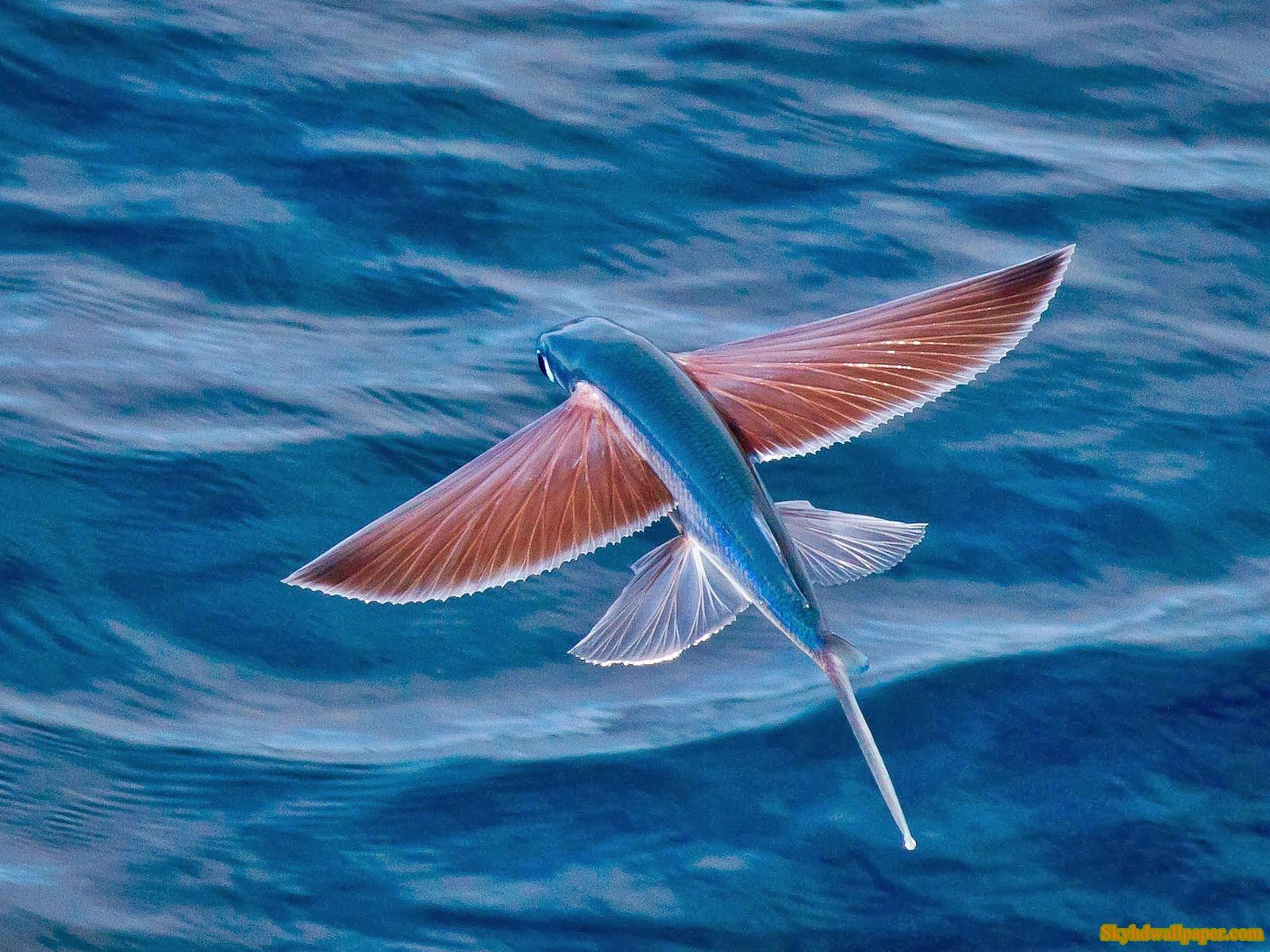 Flying fish wallpapers sky hd wallpaper photography for Where do flying fish live