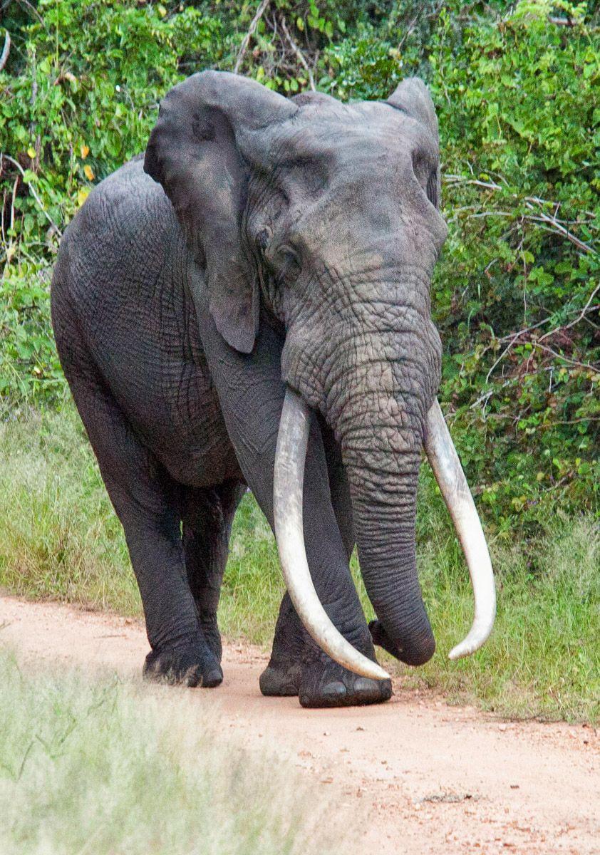 Big Tusker Masbambela taken on the S99 Mahonie Lopp near Punda Maria Camp in the Kruger Park #KrugerPark #bigfive #elephant #bigtusker #WildlifePhotography #NaturePhotography #PhotoSafari #Kruger2Kalahari #krugernationalpark
