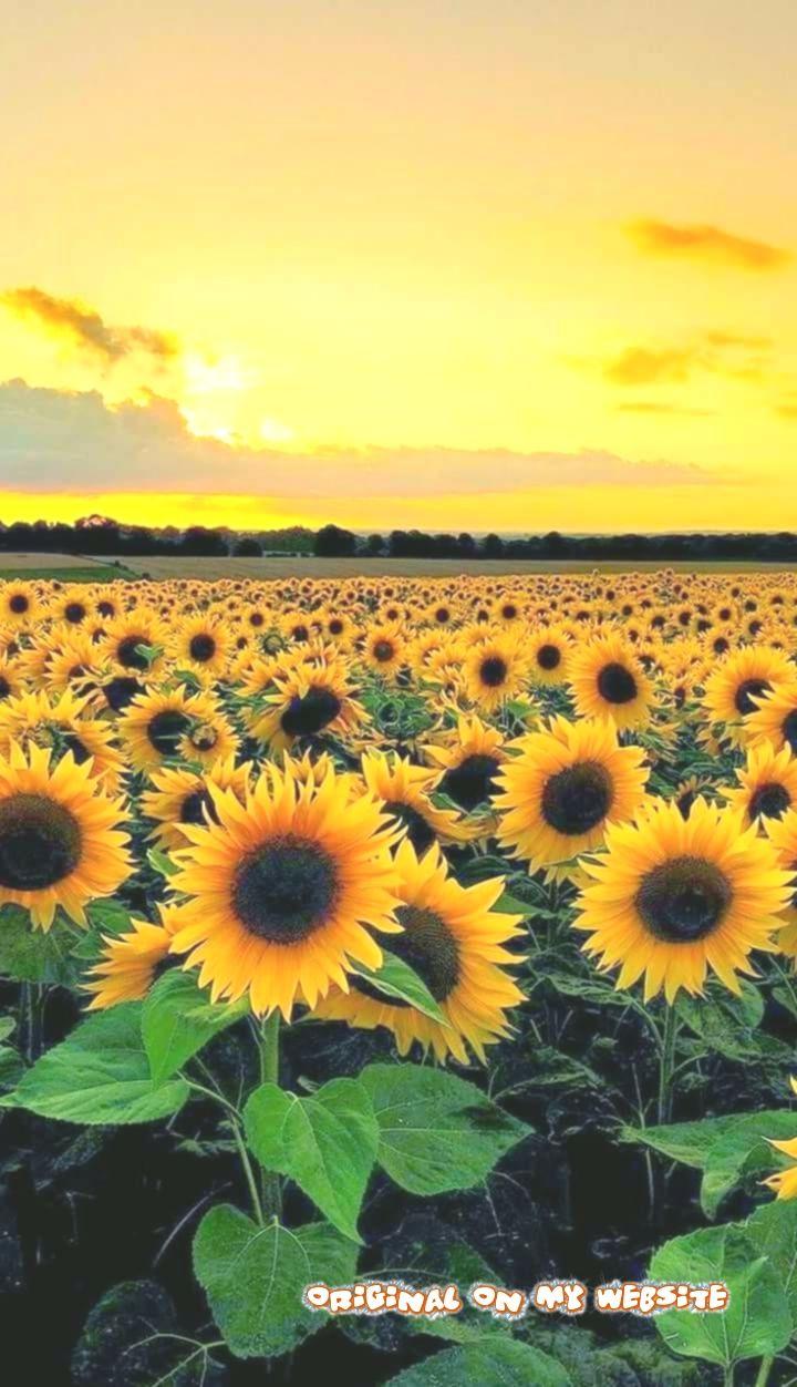 Hintergrundbilder Iphone – gelbe Sonnenblumen und Himmel – #fotografie