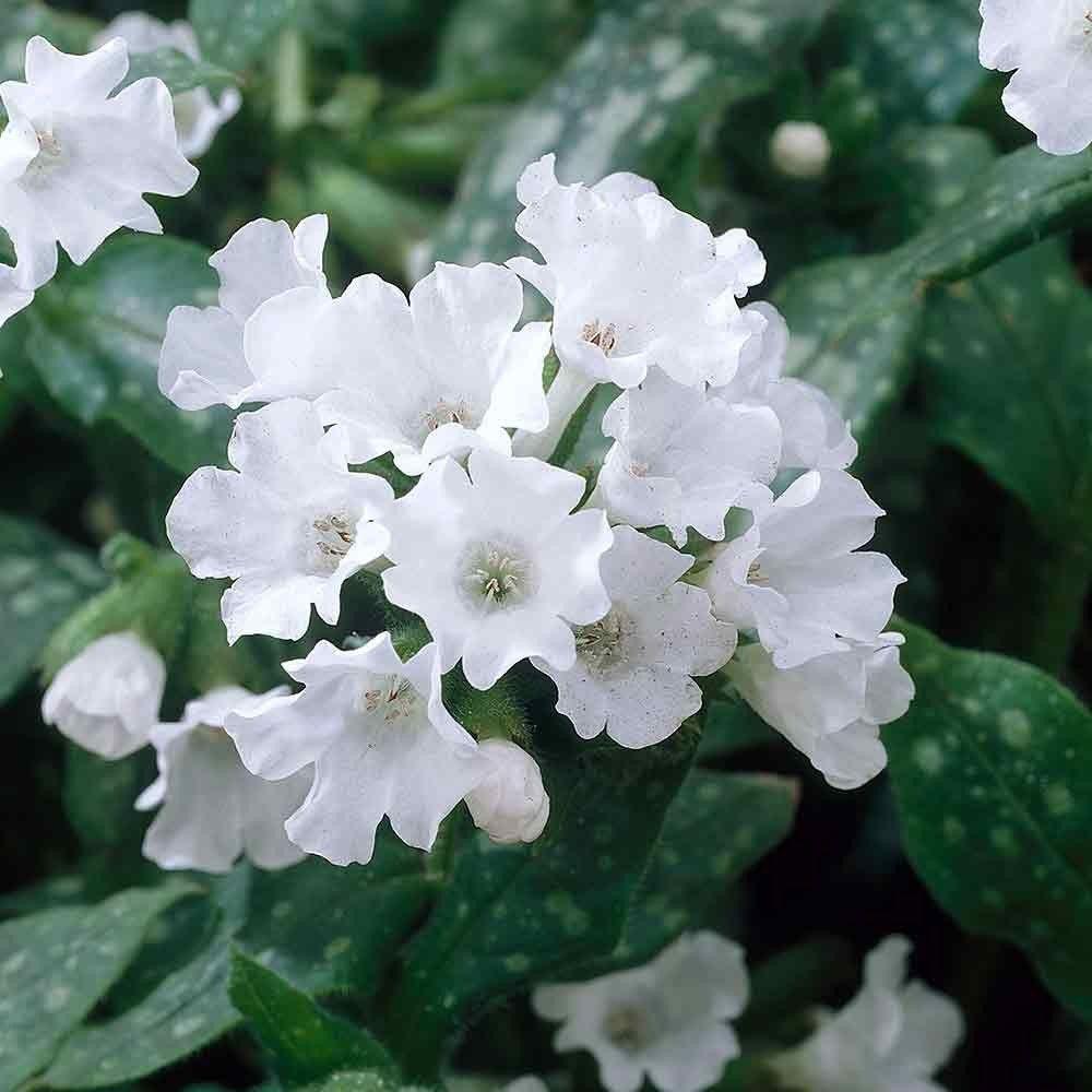 Pulmonaria Sissinghurst White Flora Pinterest Perennials